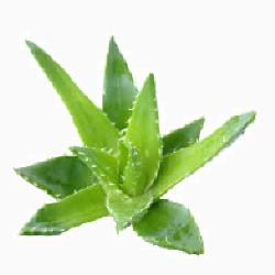 IMG PPL Aloe Plant fafafa